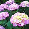 紫陽花が咲いたよ